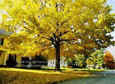 Fall Maple on Elm Street  -- Landscape Giclée Print by Alan Del Vecchio