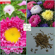 "50 ASTER ""DUCHESS MIXED' SEEDS (Callistephus chinensis); Garden favourite"