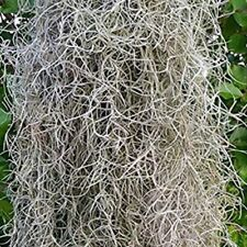 5 gallons of live Spanish moss from South Louisiana  ***BUY 4 GET 1 FREE***