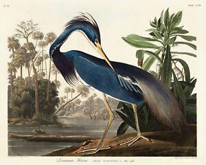 Vintage Louisiana Heron print, Audubon Print, Heron Print Quality Print A5 to A1