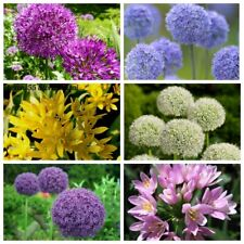 100 Allium Giganteum Flower Giant Onion Seeds Perennial Garden Decorative Plants