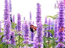 Schmetterling-Blumen hoch wachsende große Pflanzen die viele Ableger bilden Deko