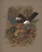 VINTAGE BIRD PRINT ~ JAY ~ BASIL EDE