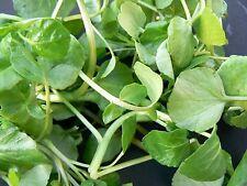 250 Graines BIO de CRESSON de Fontaine Plantes Légumes Potager Aromatique