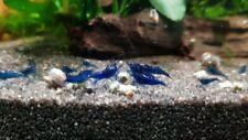 Neo caridina Davidii Blue dream Top gamberetti acquario Caridine shrimp blu