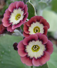 Red / Pink Garden or Border Auricula Seeds : Hybrid Alpine Primula / Primrose