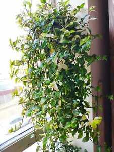 Wandering Jew, Tradescantia fluminensis, Zebrina, Spiderwort, Inch plant, Indoor