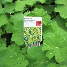 Alchemilla mollis (Frauenmantel) P9 Gelbblühend Bodendecker Staude
