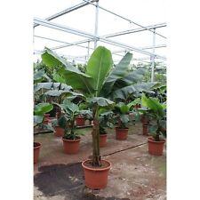 Musa basjoo Verschiedene Bananen (Musa basjoo / Dwarf Cavendish / Lotus)