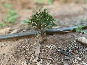 ✧ Western Red Cedar (Thuja) Rooted Baby Tree - Grow Into Bonsai Or Mature Tree🌲