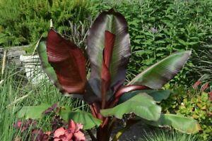 ENSETE MAURELII.BANANA .PLUG PLANTS .STUNNING FOLIAGE EXOTIC TROPICAL LEAVES