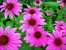 Seeds flowers Coneflower Purple Pink Echinacea Purpurea from UKRAINE
