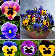 100 Pcs Beautiful Pansy Seeds Wavy Viola Tricolor Flower Bonsai Potted Diy Home