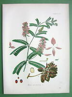 INDIAN LIQUORICE Abrus Pecatorius Flower - SUPERB Botanical Print Color Kohler