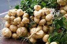 Seeds Of Jicama Yam Bean Mexican Turnip Potato Beetroot 25 Seeds Free Ship
