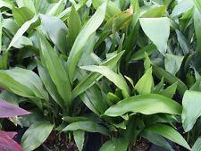 Aspidistra elatior Cast iron plant  - 4 Plants - 1 to 2 Feet Tall - 1 Gal Pot