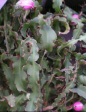 Epiphyllum curly locks, rare cacti cactus seed 20 Seeds