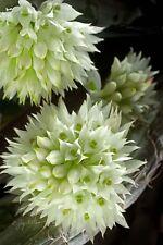 Rare orchid species seedling plant - Dendrobium Capituliflorum