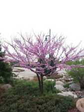 Cercis Albero di Cercis albero di giuda Pianta da giardino albero da giardino