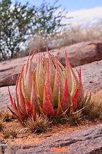 Die zierliche rote Zwergaloe ist eine Bereicherung für den Steingarten.