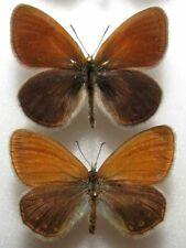 Coenonympha glycerion pair from Poland  - (mounted)