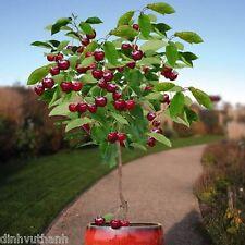 20 Seeds Dwarf Cherry Tree Self-Fertile Fruit Tree Indoor/Outdoor