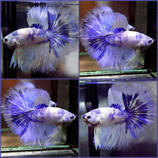 New ListingLive Betta Fish Fancy Dragon Blue Marble Rosetail Hm Male #A351