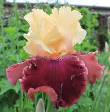 Tall Bearded Iris Dance Queen Rhizome Amber Yellow Mid Red Bare Root Plant