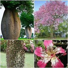 10 semi di Ceiba speciosa = Chorisia speciosa,albero bottiglia del falso kapok