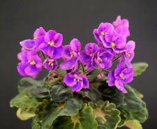 Mac/'s Momentary Meltdown 2 Blätter//2 leaves African Violet Usambaraveilchen