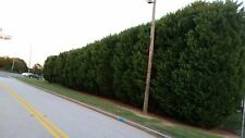"10 Plants of Thuja Green Giant Nature's Live Tree Fence 10""-12"" Outdoor Garden"