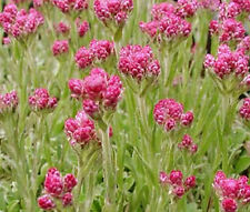 ANTENNARIA PUSSYTOES RED Antennaria Dioica Rubra - 100 Bulk Seeds