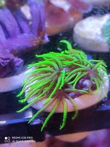 Neon Green Star Polyp GSP soft coral frag beginner live Marine Frags corals Reef