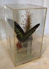 TROIDES BROOKIANA Taxidermy Mounted LARGE Birdwing Butterfly In Case