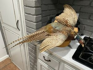 Vintage Flying Ring-necked Pheasant Taxidermy Mount