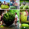 Giant Watermelon Bonsai Sweet Taste Vegetables Plants Fruit NEW DHP 50 PCS Seeds