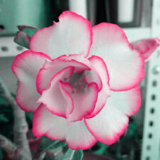 Desert Rose 2Pcs Plant Seed Exotic Flowers Decorative Home Gardening Flowering