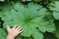 Darmera peltata - Peltiphyllum - feuillage géant -1 plant