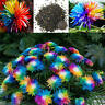 20 Rainbow Chrysanthemum Livingstone Seeds Garden Aster Seeds Cute Plant Flowers