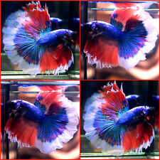 New listing Live Betta Fish Blue Metallic Super Red White Banding Halfmoon Hm Male A878