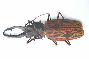 HUGE MACRODONTIA cervicornis Male 15.1 cm PRIONINAE Peru Beetle Insect Rare