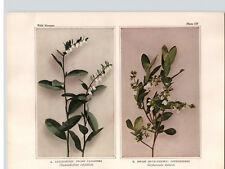 1934 Wildflower Book Plate Dwarf Cassandra & Huckleberry Spicy Wintergreen