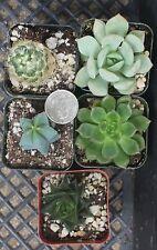 """Instant Succulent Collection - Fairy Gardens/Open Terrarium -5 Plants-2"""" pots"""