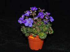 African Violet Mac'S Pizza Pizzicato Mini