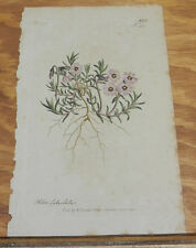 1798 Antique FLORAL COLOR Print/PHLOX SUBULATA/Moss Pink Creeper/Hand-Colored