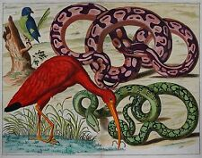 Albertus Seba - Thesaurus 1734 - Ibis, Python - Prächtiges Original - Altkolorit