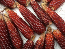 BABY CORN 'Mini Strawberry' 15 seeds POPCORN red RARE vegetable garden in POTS