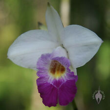 Rare orchid species seedling plant - Arundina graminifola(miniature)