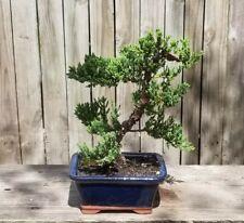 "Japanese Juniper Procumbens Bonsai tree Blue Glazed 6"" Ceramic Pot"