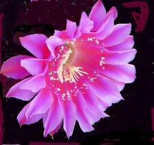 Tina Turner, Gr 4 cm, Echinopsis Hybride, Neuheit bei mir, #137